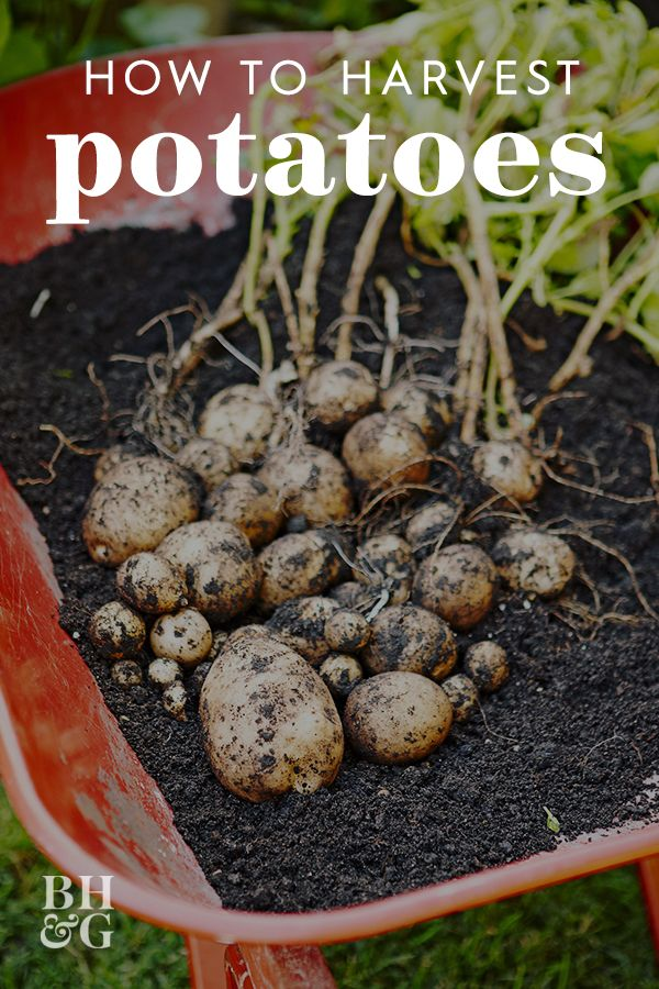 How To Grow Potatoes To Take Advantage Of That Sunny Spot In Your Yard Growing Potatoes Growing Sweet Potatoes When To Harvest Potatoes