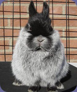 Champagne Netherland Dwarf Rabbit contemplating a life in the limelight