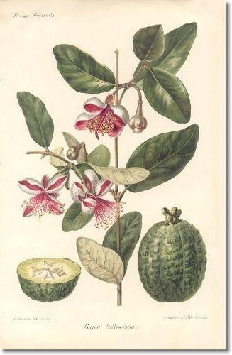 Feijoa. Botanical illustration.