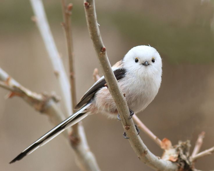 Image result for Japanese Long Tailed Tit