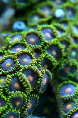 Zoanthid: zoanthids are an order of cnidarians commonly found in coral reefs, the deep sea, and many other marine environments around the world!