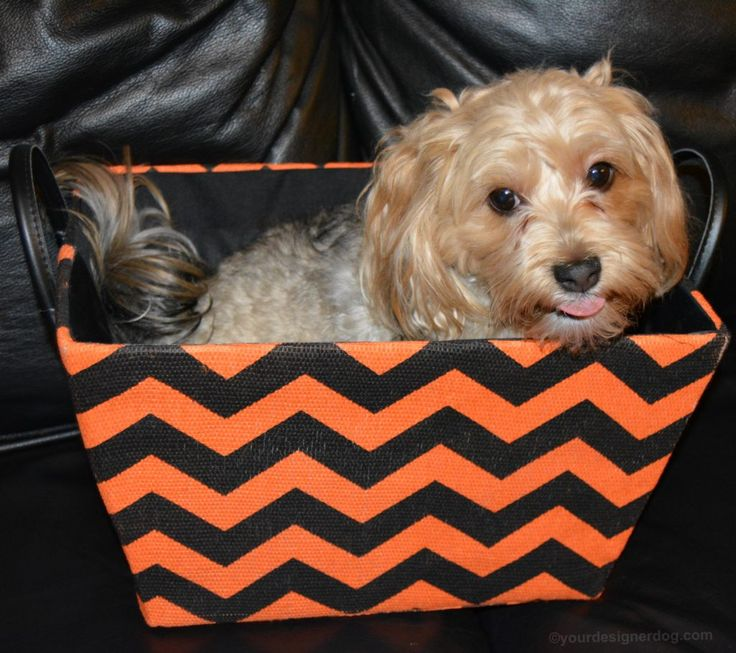 An Orange and Black Tongue Out Tuesday - YourDesignerDog