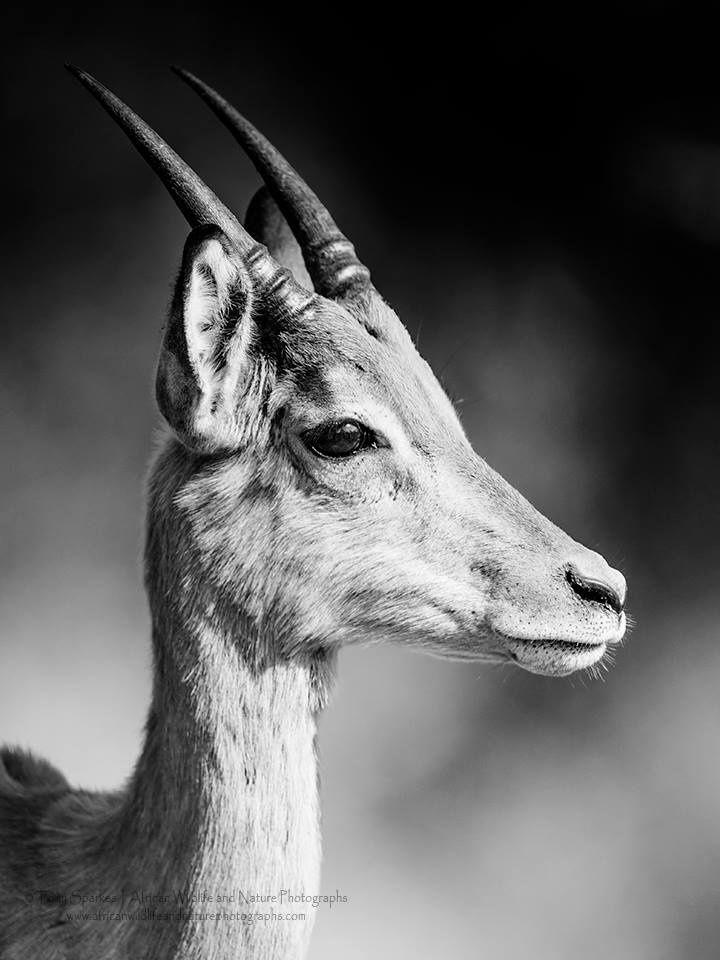 Impala Adolescence by Tony Sparkes on 500px