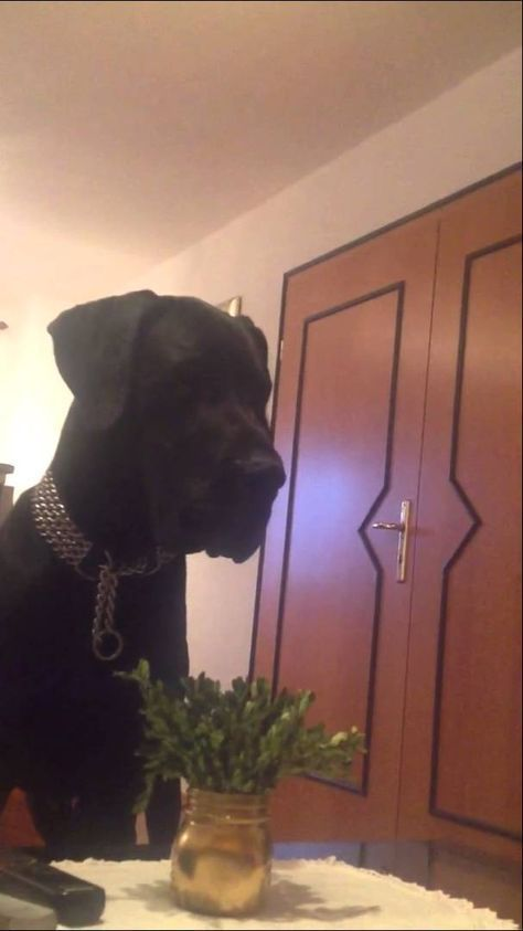Great Dane reaction to wolf howl funny