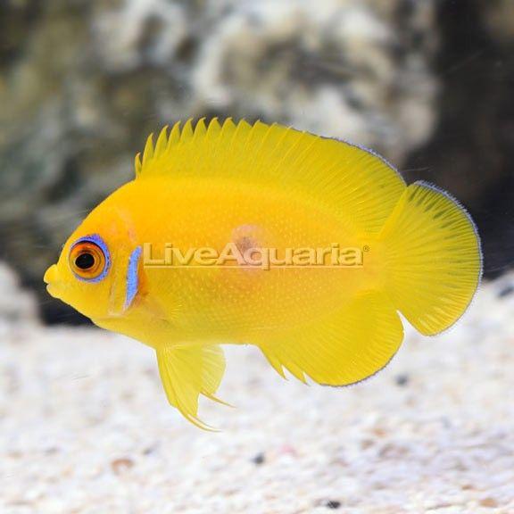Fijian Lemon Peel Angelfish Juvenile Fish Pet Fish Angel Fish