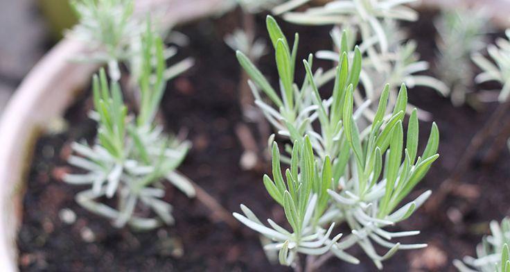 Lav lavendel stiklinger og få gratis nye planter. Her får du en guide til, hvordan du kan genbruge dine gamle planter.