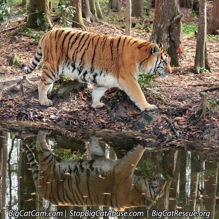 US-based Lumber Liquidators has been held accountable and fined $13.2 million for illegally importing wood from the habitat of Siberian tigers. We are pleased the Justice Department's Environmental Crimes Section pursued this criminal activity and prevailed. http://pilotonline.com/news/local/crime/lumber-liquidators-sentenced-for-illegally-importing-wood-from-siberian-tiger/article_48c88ca4-3e33-5022-8bbb-a73d18289d50.html