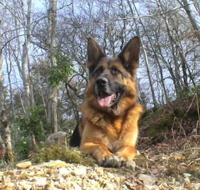 German Shepherd Dog Information and Pictures, German Shepherd Dogs