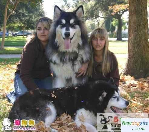 Tibetan Mastiff-Siberian Husky mix: huge dogs - I guess this is what would happen if I combined my TM and husky