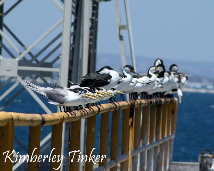 Cormorants Western Australia