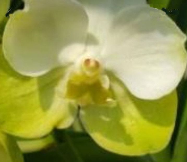 V Somsri Gold Klairvoyant Orchids Orchids Orchids Oncidium Flowers