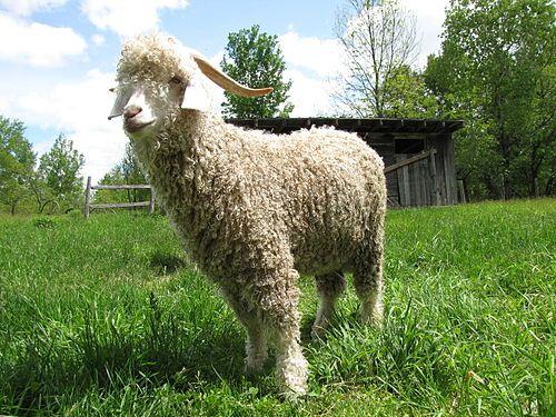 Angora goat - Wikipedia, the free encyclopedia