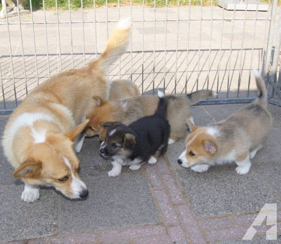 Beautiful And Well Breed Pembroke Welsh Corgi Puppies Available