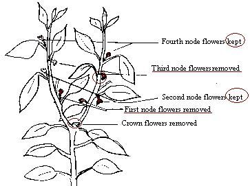 Pruning Peppers: By the time the plant is a foot tall, you will be able to see the strongest branches on the plant. Cut back any smaller branches, including suckers. Be careful not to damage the main stem. Remove all flower nodes.