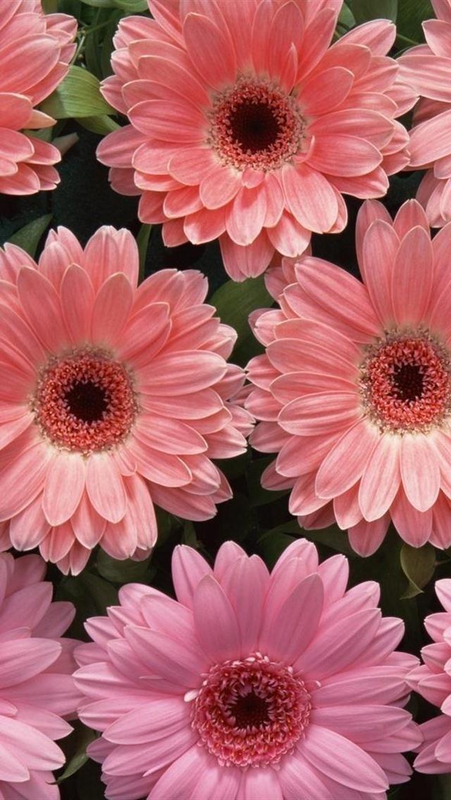 Pink Geberas