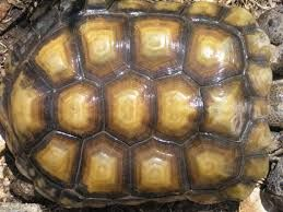 Image result for tortoise shell pattern
