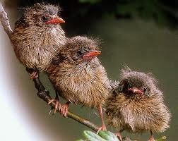 Baby robins. They are adorable!: Coral Hen4800, Ball, Three Amigos, Three Little Birds, Beautiful Birds, Branches, Feathers Friends, Animal, Baby Robin