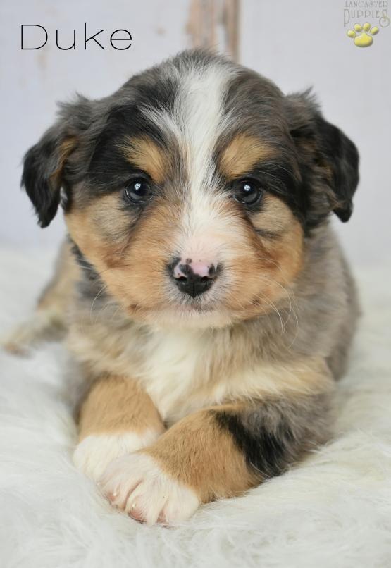 Duke - Blue Merle - Tri Color !! - Mini Bernedoodle Puppy