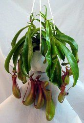 Carnivorous Pitcher Plant Care - Nepenthes species and hybrids