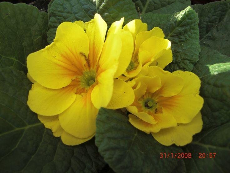 Primrose #http://www.lookbackinvintage.co.uk/
