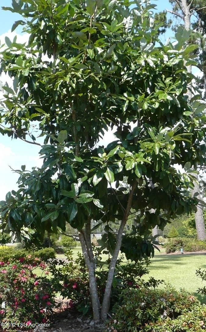 Evergreen sweetbay magnolia magnolia virginiana var for Small evergreen flowering trees