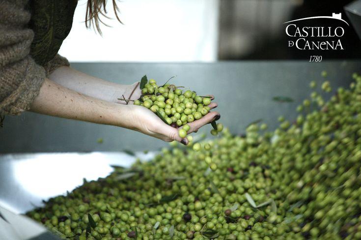 Cosecha de aceites de oliva virgen extra Castillo de Canena . . . Castillo de Canena extra virgin olive oils harvest
