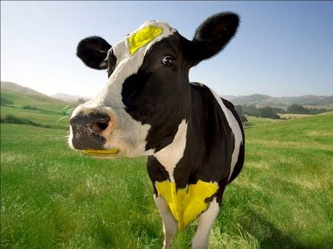 Cute And Funny Cow Videos For Kid - AMAZING Cow Documentary 2015