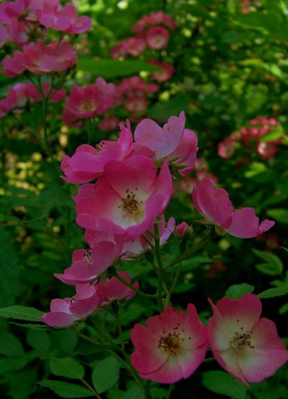 ~~Tea's Hope Chest~~: Wild Roses~Beauty in all Wild Things~~