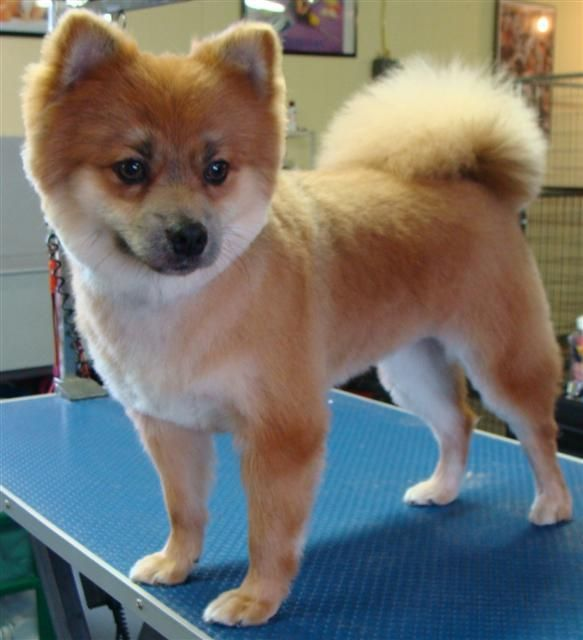 pomeranian haircut styles the 21 hottest haircuts of 2015 work with almost every 9093