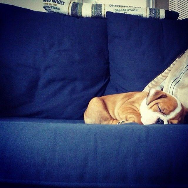 Instagram by buckthebully | English Bulldog | Puppy Tales