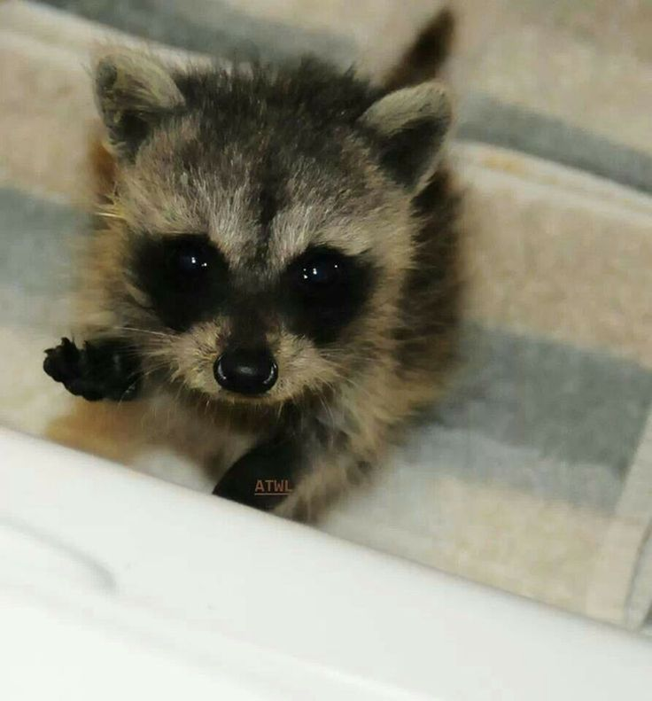 Baby raccoon as a pet? Hmm...