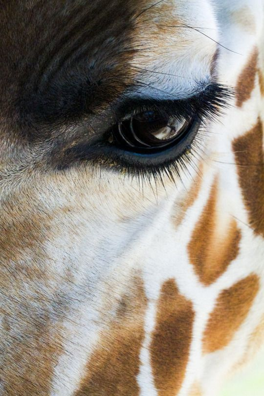giraffe, close up, eyelashes. Giraffes have such admirable eyelashes. I'm super jealous!