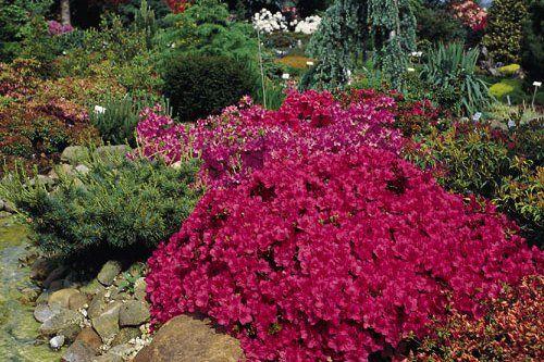 Japanische Azalee 'Purpurkissen' (S) - Rhododendron obtusum 'Purpurkissen' (S)