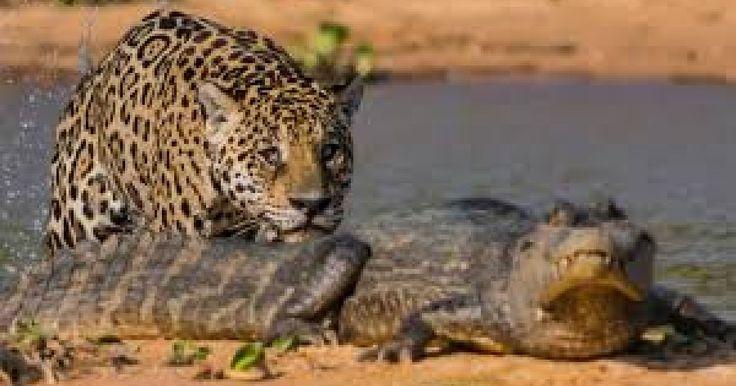 Los ataques de los felinos en la naturaleza llegan a ser feroces, rápidos y sigilosos. National Geographic captó en video uno de los mejores momentos que comprueba el ataque mortal de los depredadores, en esta ocasión fue un Jaguar atacando con gran precisión a un cocodrilo. El cocodrilo quedó indefenso ante la maniobra tan precisa.