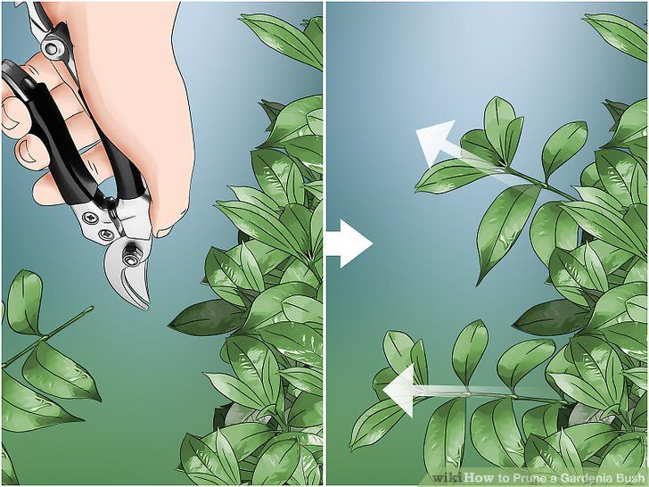 How To Prune A Gardenia Bush 13 Steps With Pictures Gardenia Bush Gardenia Plant Gardenia