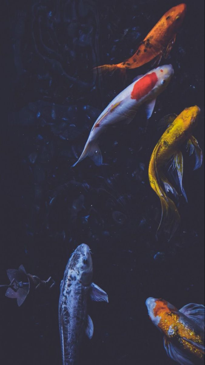 Aesthetic Koi Fish : aesthetic, Official, Pretty, Things, Wallpaper,, Background,, Wallpaper