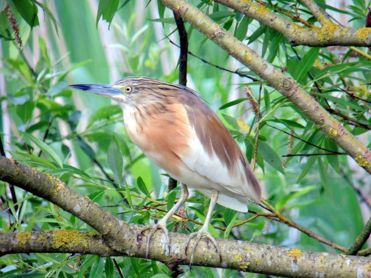 Ralreiger squacco heron ardeola ralloides