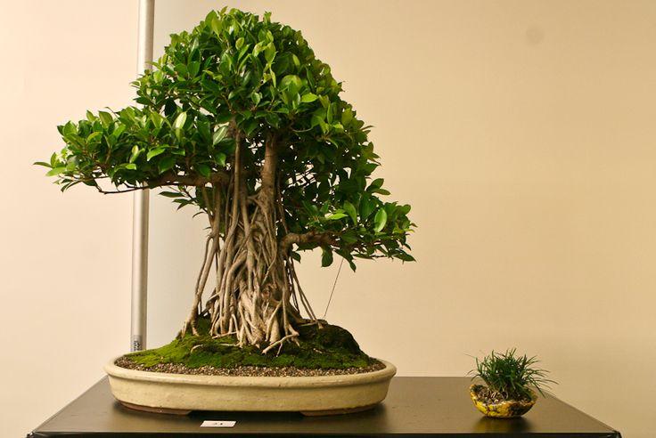 Laurel De La India Ficus Microcarpa Retusa Chinese Banyan