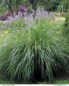 The Best Plants for Sunny Borders:  'Morning Light'  Miscanthus sinensis (Zones 4–9). The inner light, which accounts for its name, emanates from the white midribs of its fine-textured leaf blades and the threads of white around their edges. A shimmering miracle of grace between 5-6' tall, 'Morning Light' turns golden in November and fades to beige in winter.