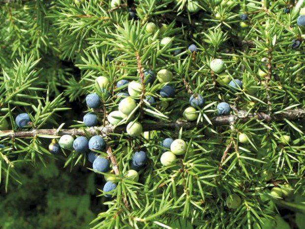 Juniperus Chinensis Chinese Juniper 10 seeds