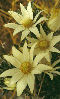 australian native plants - Google Search
