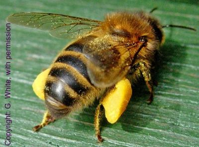 Honey Bee Facts -  Bees are fascinating creatures.  This page highlights many of them.