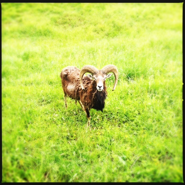 A majestic ram in the sheep meadow in front of the Regent Bohemia Brewery.