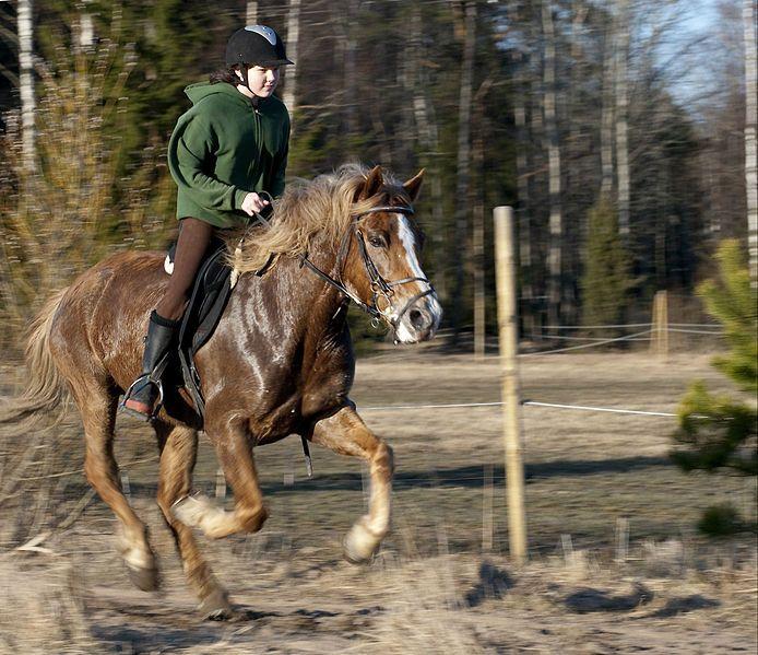 Le Finlandais - Un Finlandais au galop monté par un jeune cavalier