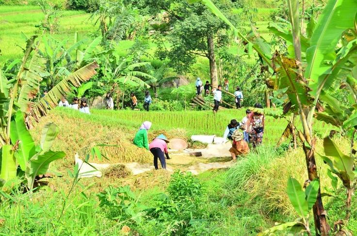 Panen padi di Purwakarta