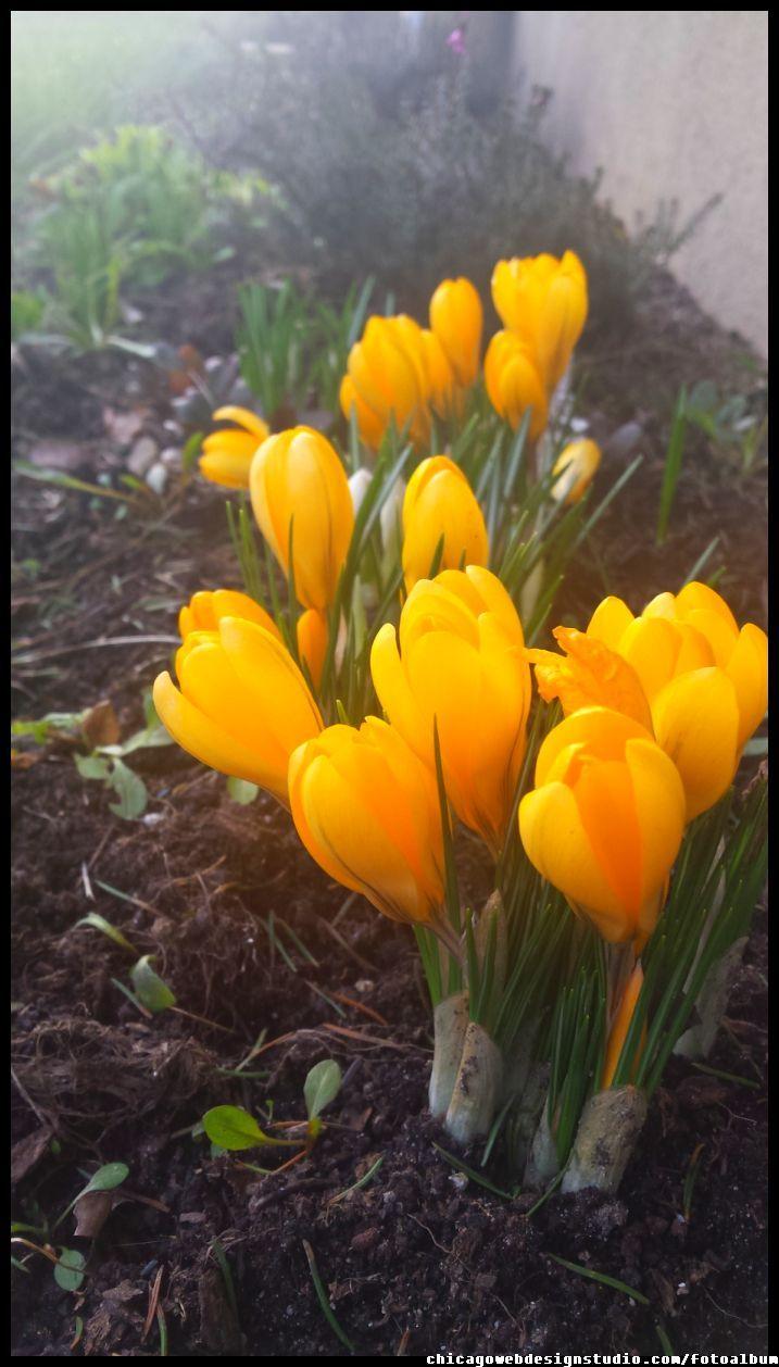 krokusy - wiosenne kwiaty ogrodowe #kwiaty #flowers #polish flowers #polskie kwiaty #kwiatki #kwiaty ogrodowe #kwiaty polne #kwiaty leśne #przebiśniegi #śnieżyczki #pierwiosnki #kwiaty wiosenne #wiosna #spring #krokusy #przebiśniegi #hiacynty #przyroda #natura #kwiaty wiosenne #spring flowers #polish flowers #Polskie kwiaty