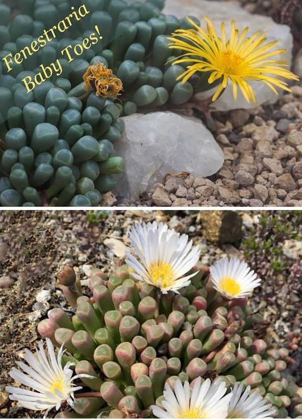 Species Spotlight Fenestraria Baby Toes Succulents Baby Toes Succulent Care