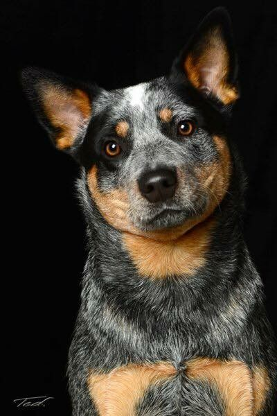 The the ever-saucy Australian cattle dog – Tap the…