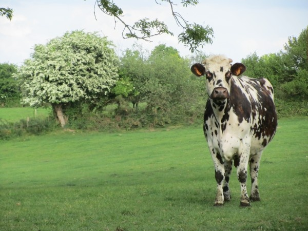 La French Cow ~ in Normandy.