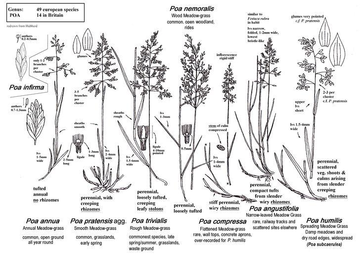 Meadow Grasses(Poa):